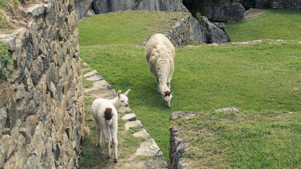 Lamas Machu Picchu