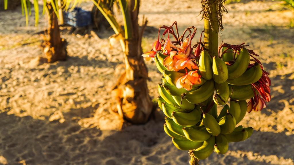 Roatan Bananenstaude