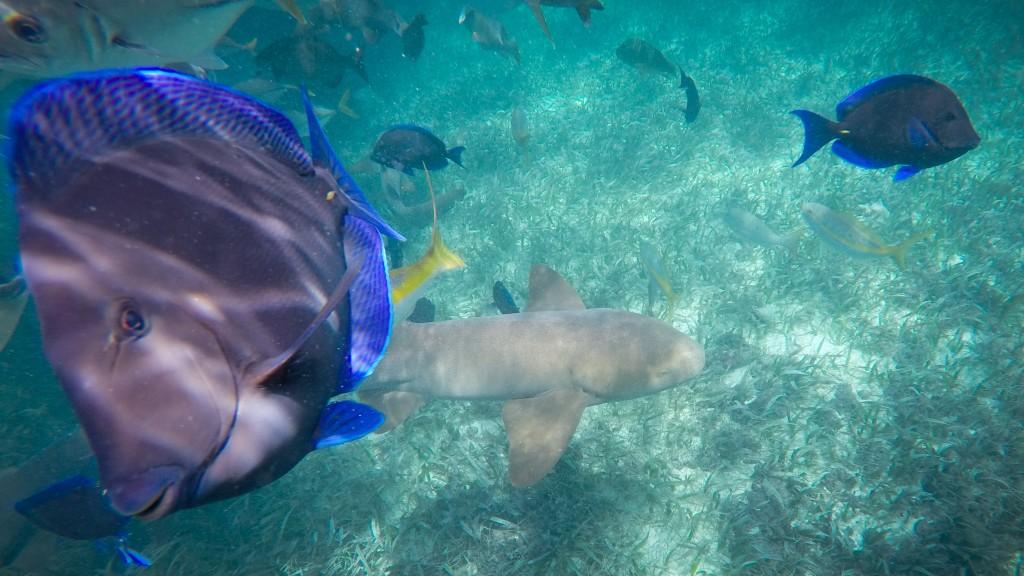 Snorkeling Caye Caulker Sharks