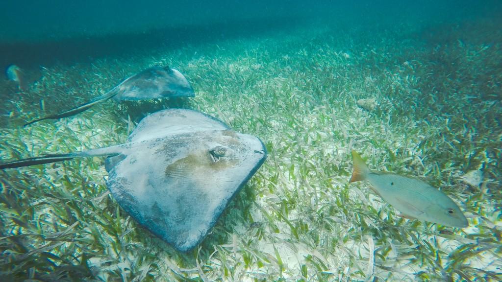 Snorkeling Caye Caulker Rays