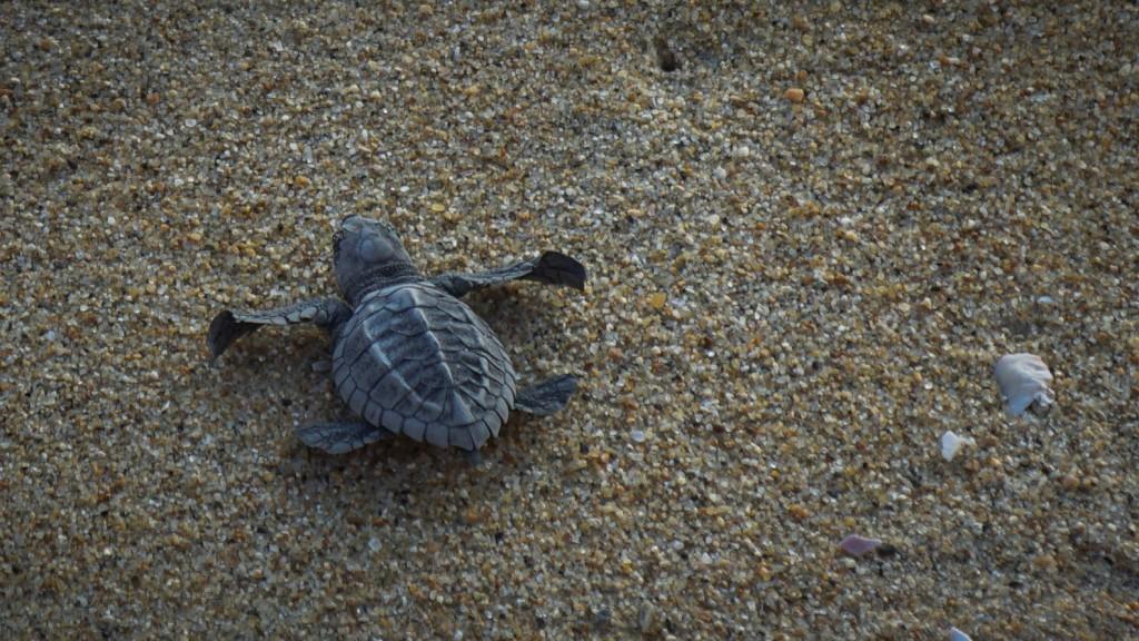 Puerto Escondido, Schildkröte