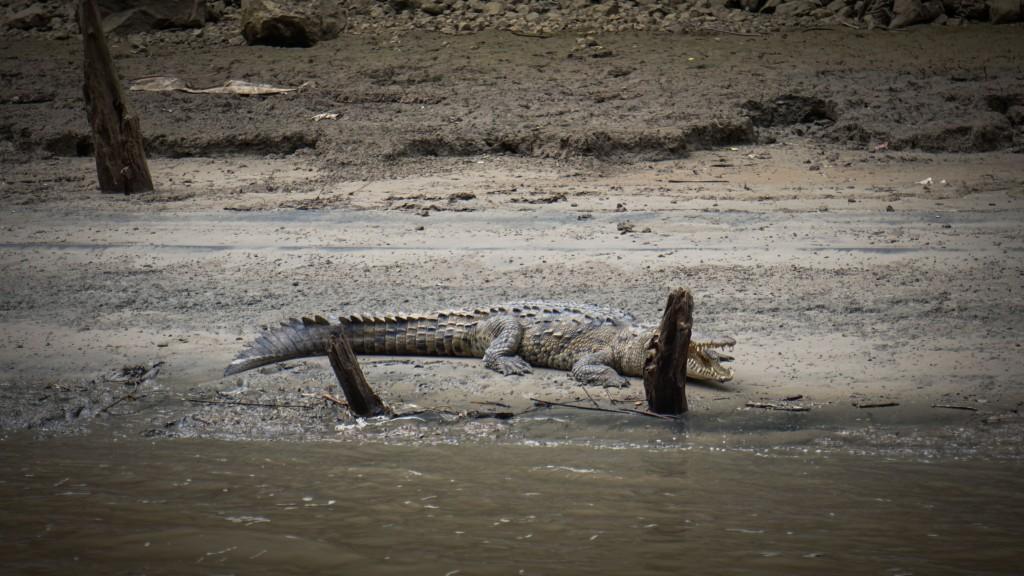 Cañón del Sumidero, Krokodil